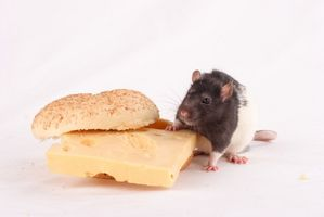 Come uccidere un ratto con burro di arachidi