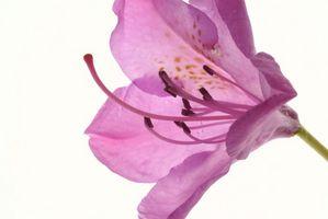 Perché i miei Rhododendron foglie di svolta Brown?