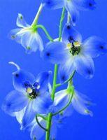 Delphinium fiori blu