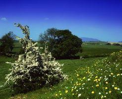 Alberi che fanno i buoni Hedges