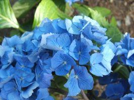 Modi naturali per rendere il terreno acido per Blue Ortensie