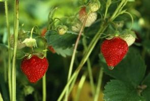 Come coltivare fragole verticale