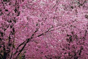 Danni Plum Tree Fiore