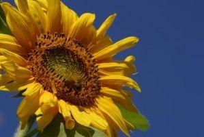 Che cosa si deve fare con girasoli Dopo fioriscono?