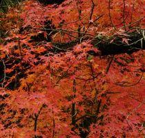 Requisiti luce del sole per Acero giapponese