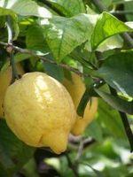 Come coltivare alberi di limone in vaso