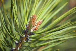 Come Stendere aghi del pino
