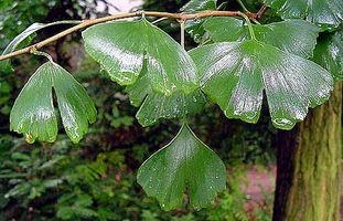 Come far crescere un albero Ginkgo nel paesaggio
