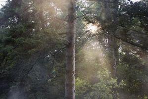 Erba che crescerà sotto gli alberi di pino