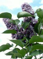 Fragrante arbusti fioriti