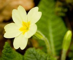 Notte in fiore giallo Piante