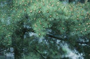 Cosa significa essere una pianta Gimnosperma?