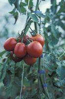 Un rimedio a casa per il pomodoro Blossom Rot