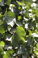 Come prendersi cura di Ivy Invasi piante con le foglie gialle