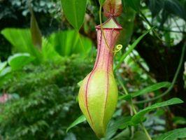Perché le piante carnivore crescono bene in azoto Poor suolo?
