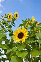 Un elenco di fiori che crescono da seme