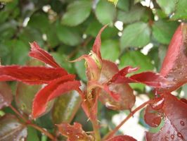 Perché cespuglio di rose foglie diventano rosso