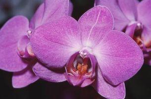 Macchie marroni sulla Phalaenopsis Foglie