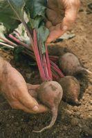Come costruire una radice o terra Cantina