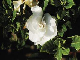Come separare Radici di un Gardenia