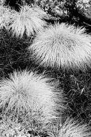 Come ciuffo Erba ornamentale