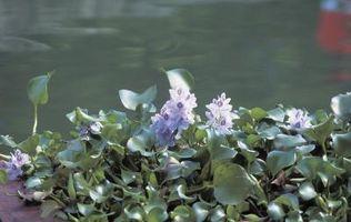 Come funziona il giacinto d'acqua riprodurre?