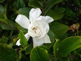 Perché foglie ingialliscono su una pianta Gardenia