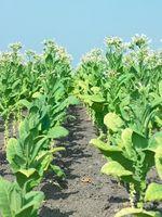Come coltivare la tua tabacco da pipa