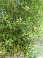 Come coltivare Multiplex Bamboo