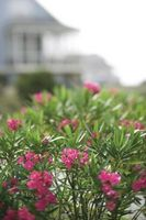 Quali sono le cause Foglie a cadere sul fondo di un impianto Oleander?
