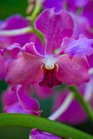 I miei Orchid foglie sono di colore giallo e Wilting