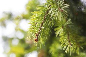 Quali sono gli alberi che non si liberano le loro foglie in autunno?