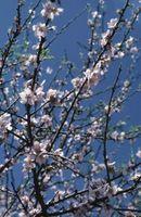 Quanto è alto un Nano Honeycrisp Tree?