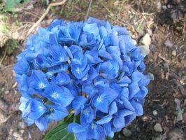 Che Mantiene Ortensia fiori blu?