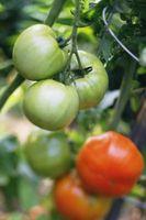 Come a maturare Pomodori più veloce