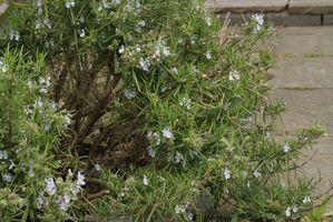 Come alto piantare alberi Do Rosemary?