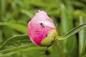 Come rimuovere formiche di peonie