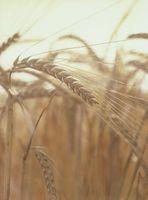 Come piantare grano di primavera in Indiana