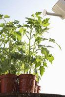 Heirloom pomodori che crescono in contenitori