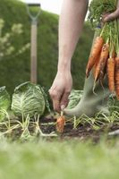 Come prendere una carota dal terreno