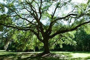 Le piante che crescono sotto gli alberi di quercia
