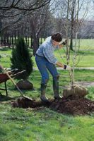 Come rimuovere un albero per il trapianto