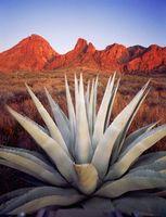 Qual è la differenza tra un Yucca e di un Agave?