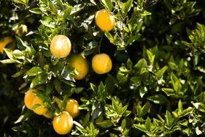 Il mio Satsuma Orange Tree non produce frutta
