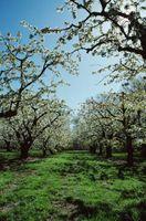 Il mio Fruitless Fioritura Pear Tree non è in fiore