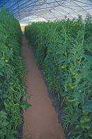 Informazioni sui coltivazione di ortaggi in serra