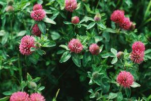 Cose da fare con trifoglio rosso Blossoms