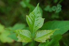 Come usare il sale acqua o sapone per uccidere Poison Ivy
