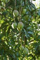Il trattamento Antracnosi a Mango Fiori
