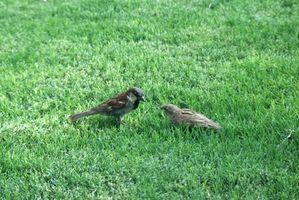 Come smettere di uccelli dal mangiare erba semi